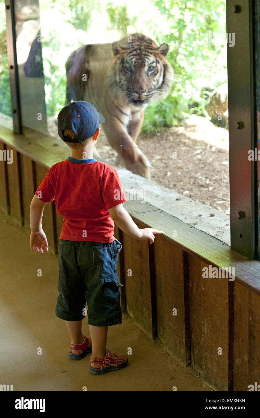 Little boy looking at a tiger behind a glass wall - Stock Image