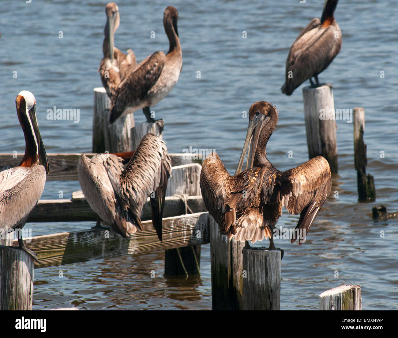 Brown pelicans, some covered with oil from the BP Deepwater Horizon oil spill, sit on piling Bon Secour, Alabama, - Stock Image