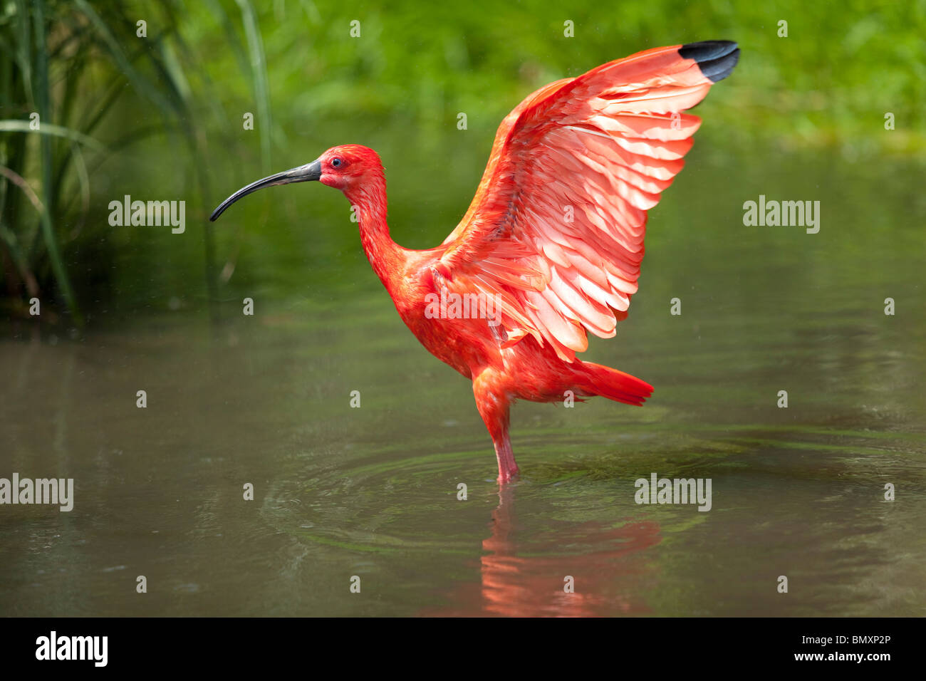 Scarlet Ibis stretching his wings - Stock Image