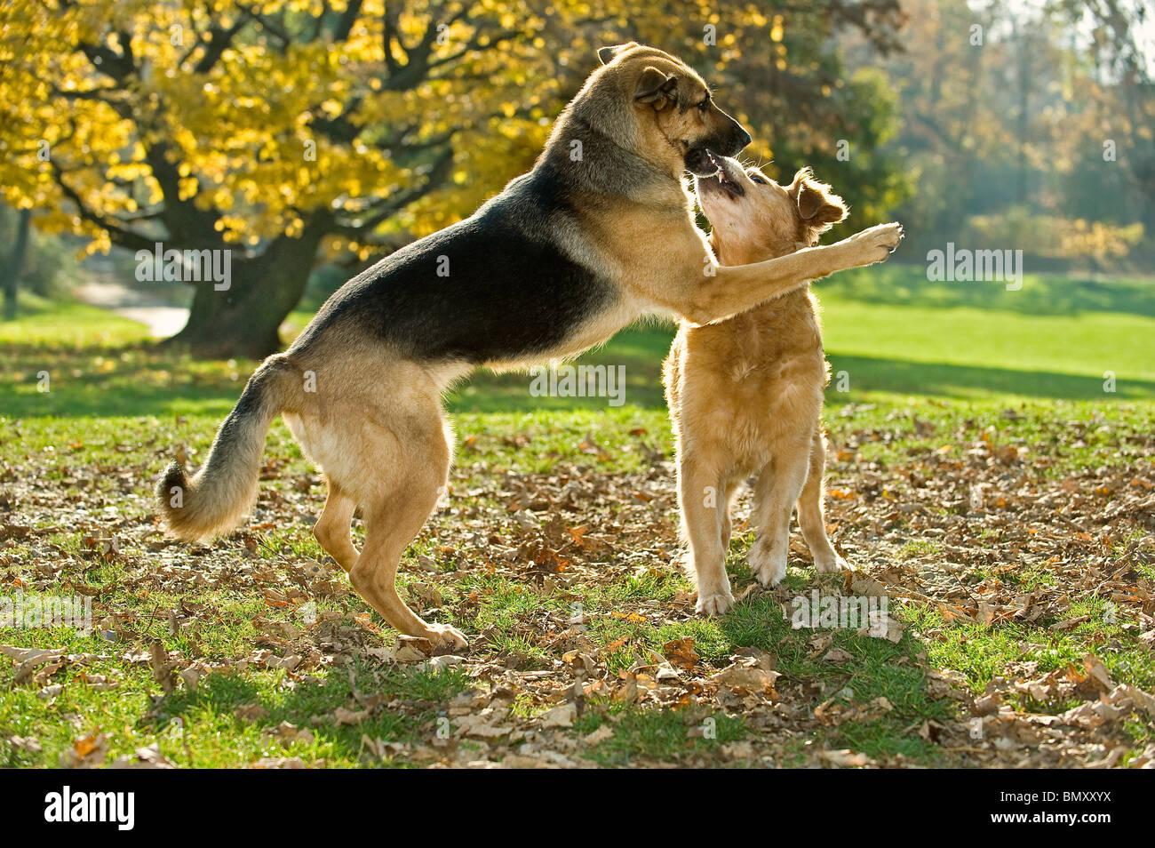 German Shepherd Dog Golden Retriever Playing Stock Photo 30095406