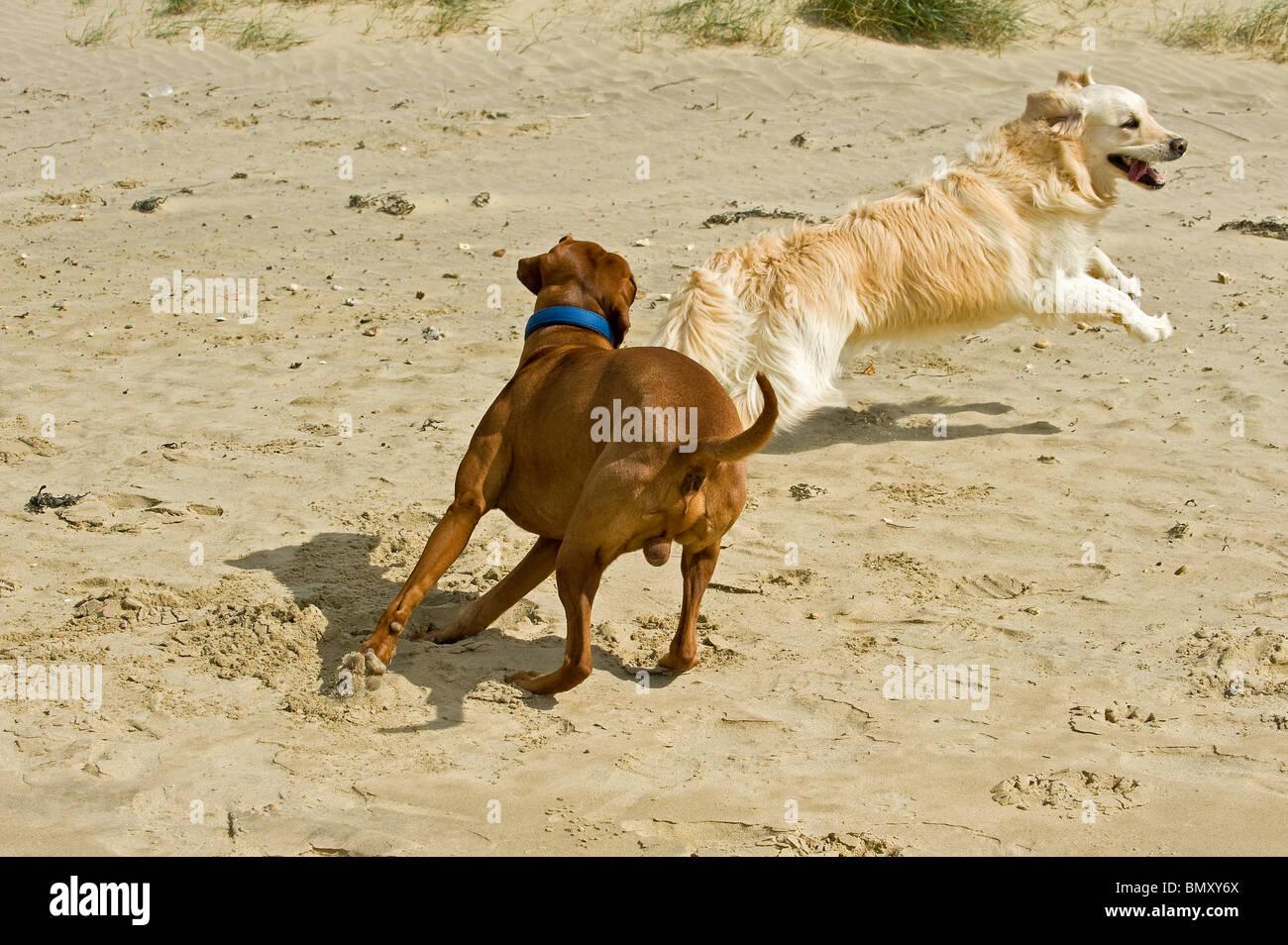 Magyar Vizsl dog Golden Retriever dog the beach - Stock Image