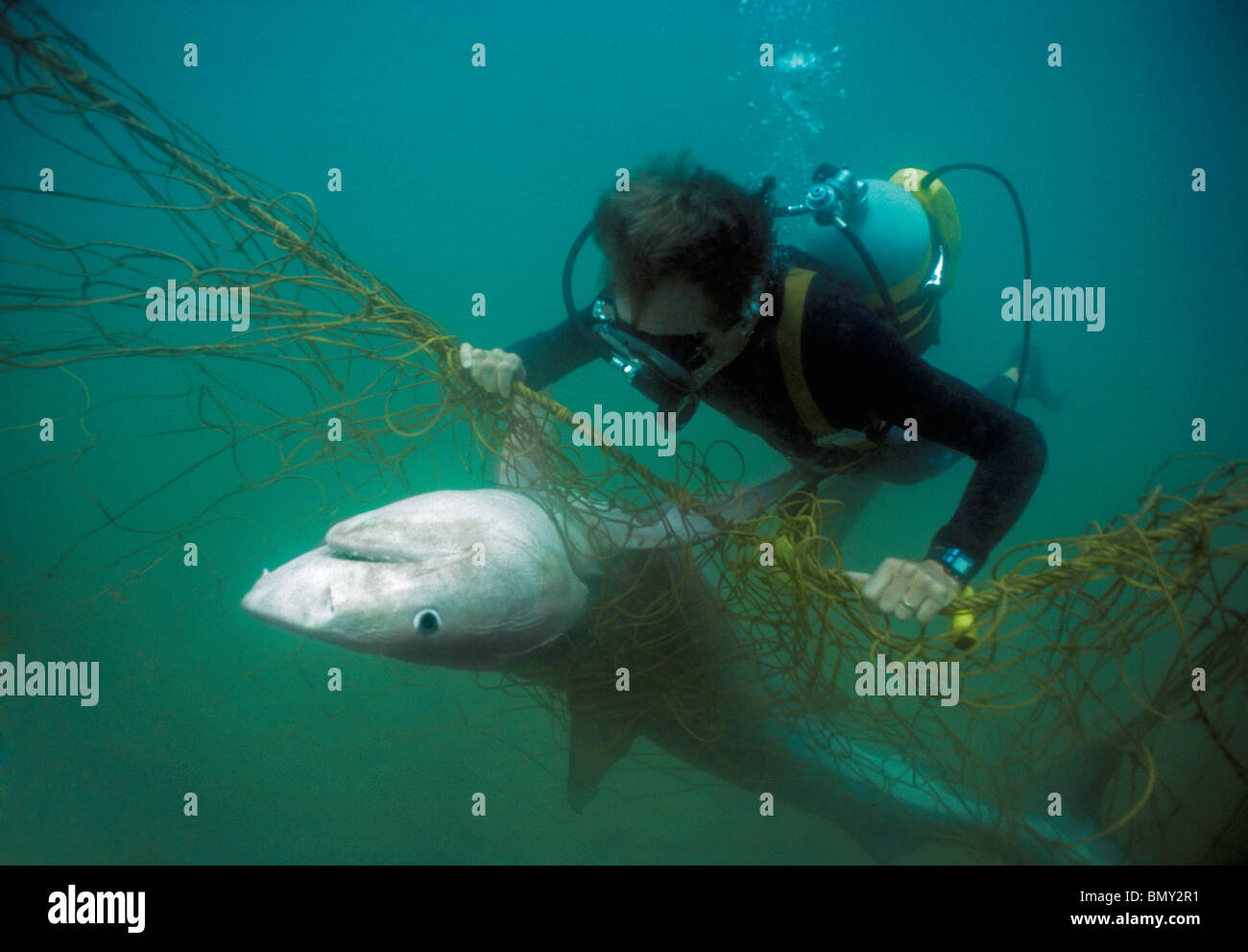 Close-up of Diver with anti-shark POD examines Tiger Shark (Galeocerdo cuvier) caught in anti-shark net. South Africa. - Stock Image