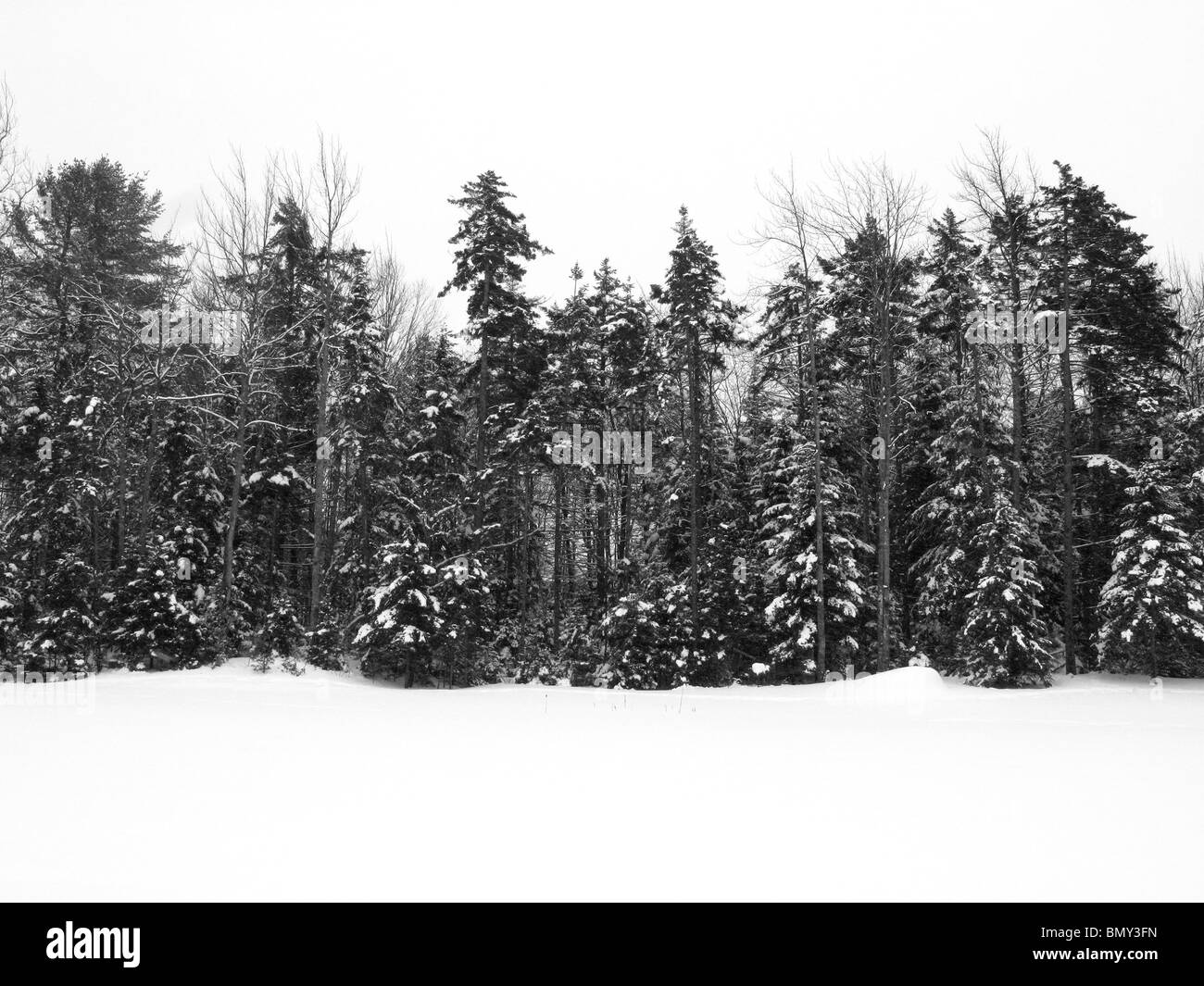 A line of forest green pine trees covered with winter snow. - Stock Image