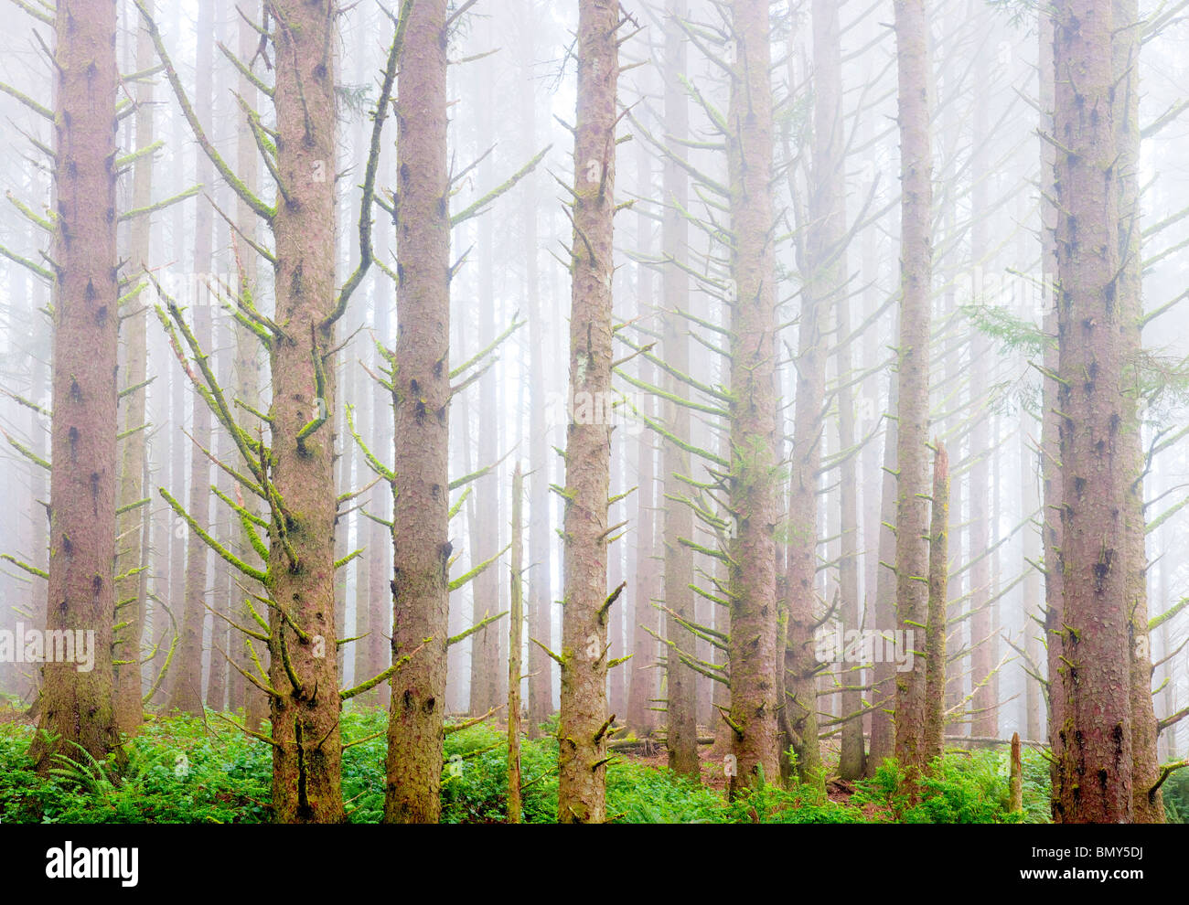 Sitka Spruce forest with fog on the oregon coast. Samuel H. Boardman State Scenic Corridor. Oregon - Stock Image