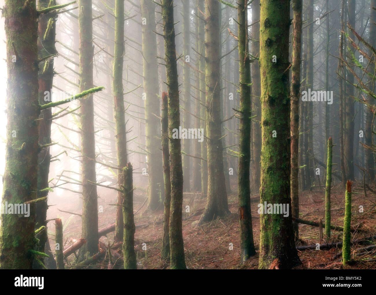 Sitka Spruce trees in fog. Samuel H. Boardman State Scenic Corridor. Oregon - Stock Image