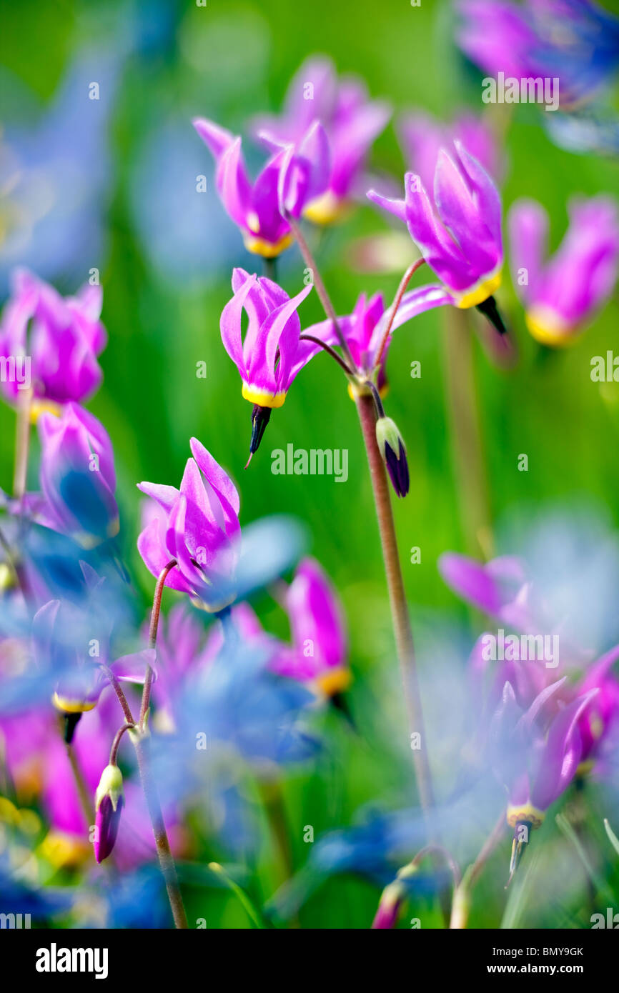 Close up of Shooting Star (Dodecatheon conjugens) Blue Camas lily is blurred. Near Catherine Creek. Oregon - Stock Image