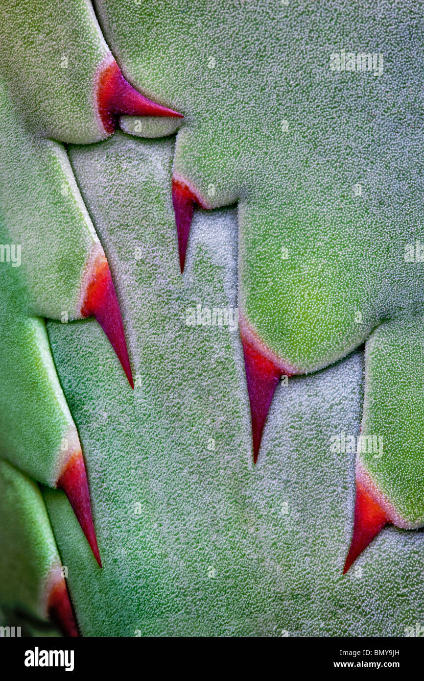 Close up of thorns on agave plant before opening. - Stock Image