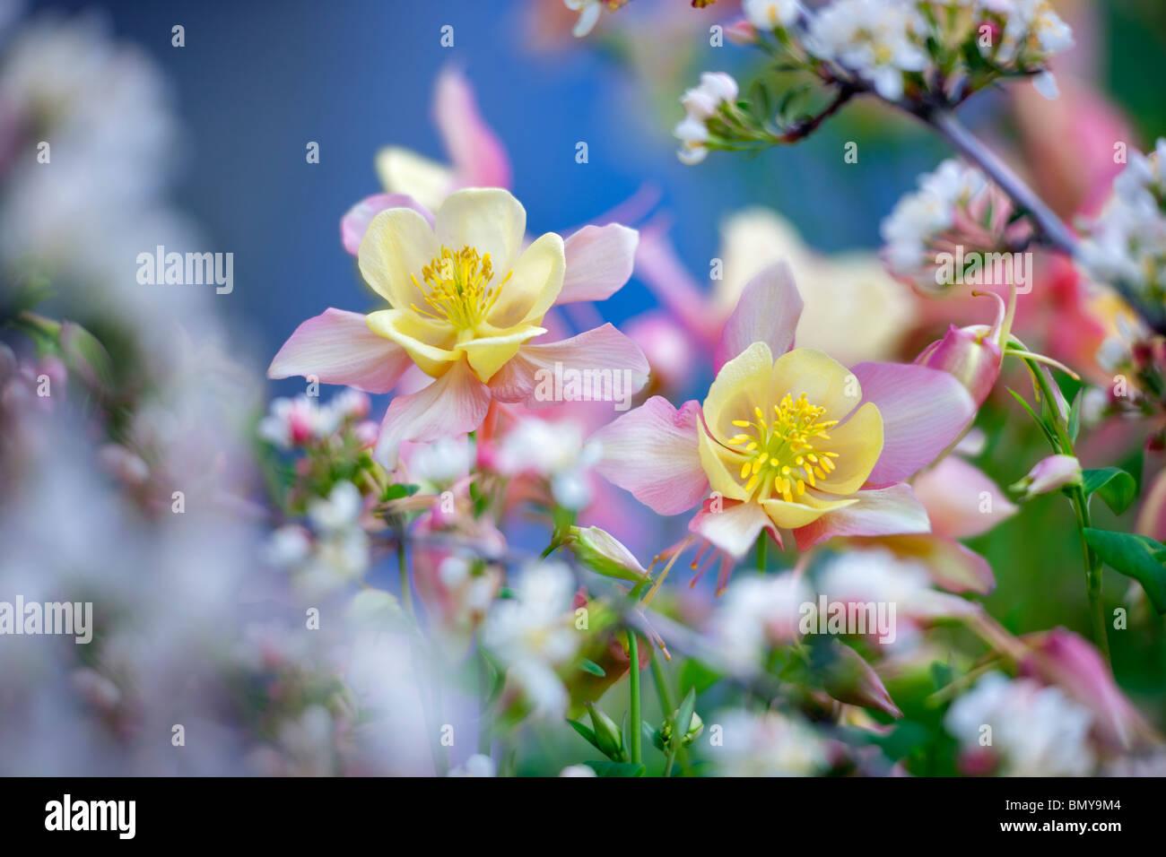 Columbine Flower Stock Photos Columbine Flower Stock Images Alamy