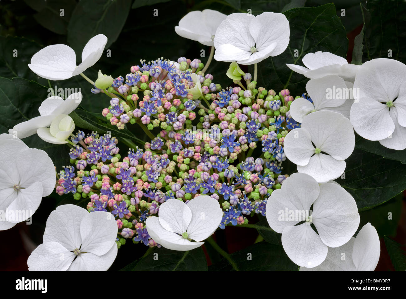 Close up of Lace Cup Hydrangea. (Hydrangea macrophylla-lace Cap. - Stock Image