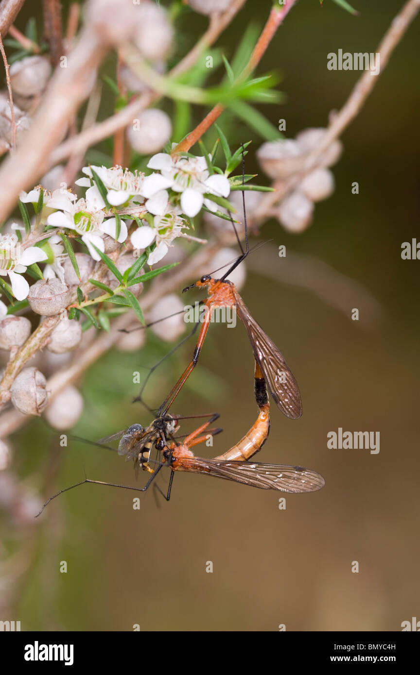 Male scorpion fly feeding female with other flies while mating. - Stock Image
