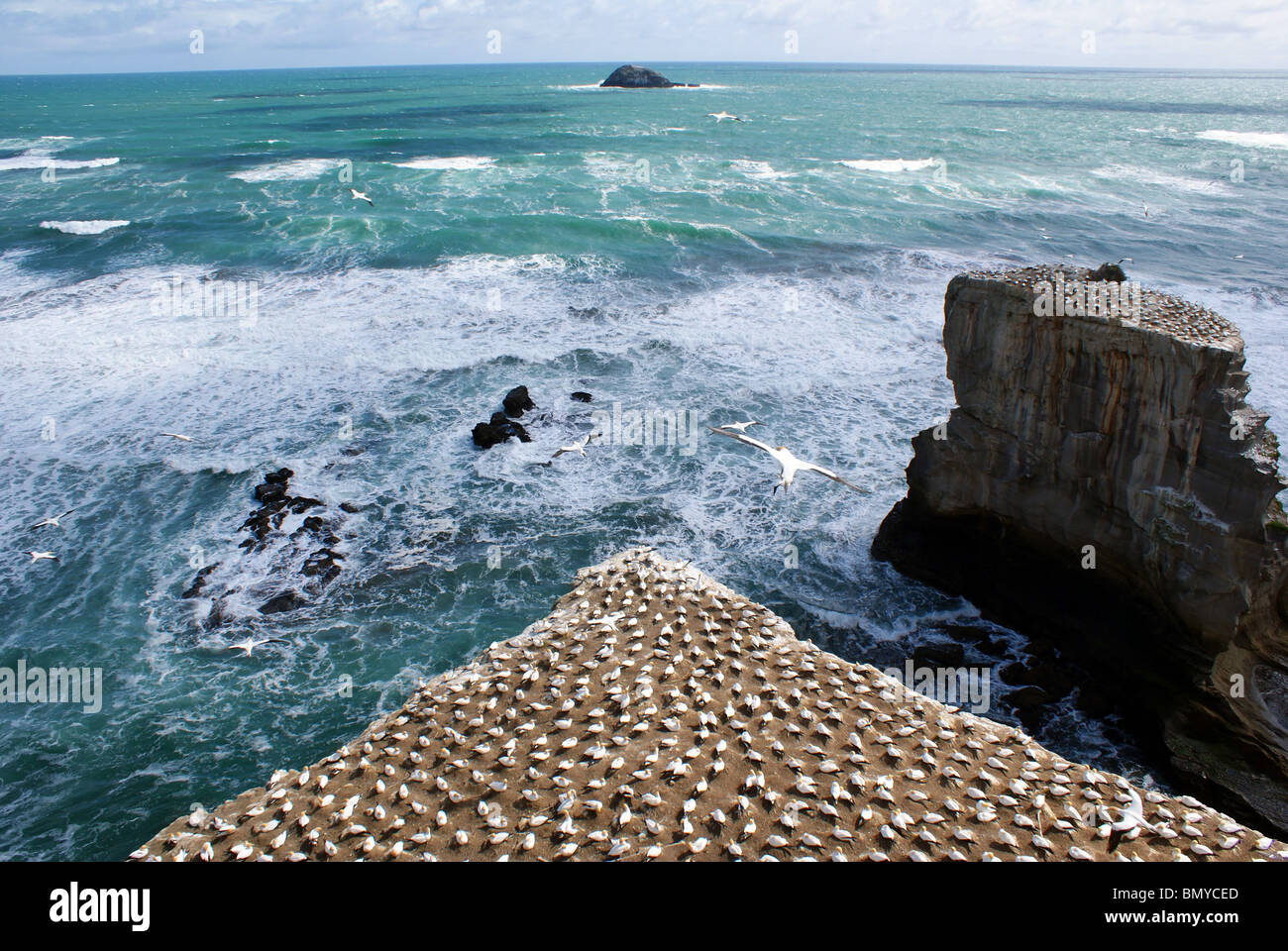 Gannet colony at Muriwai Beach, Auckland, New Zealand - Stock Image