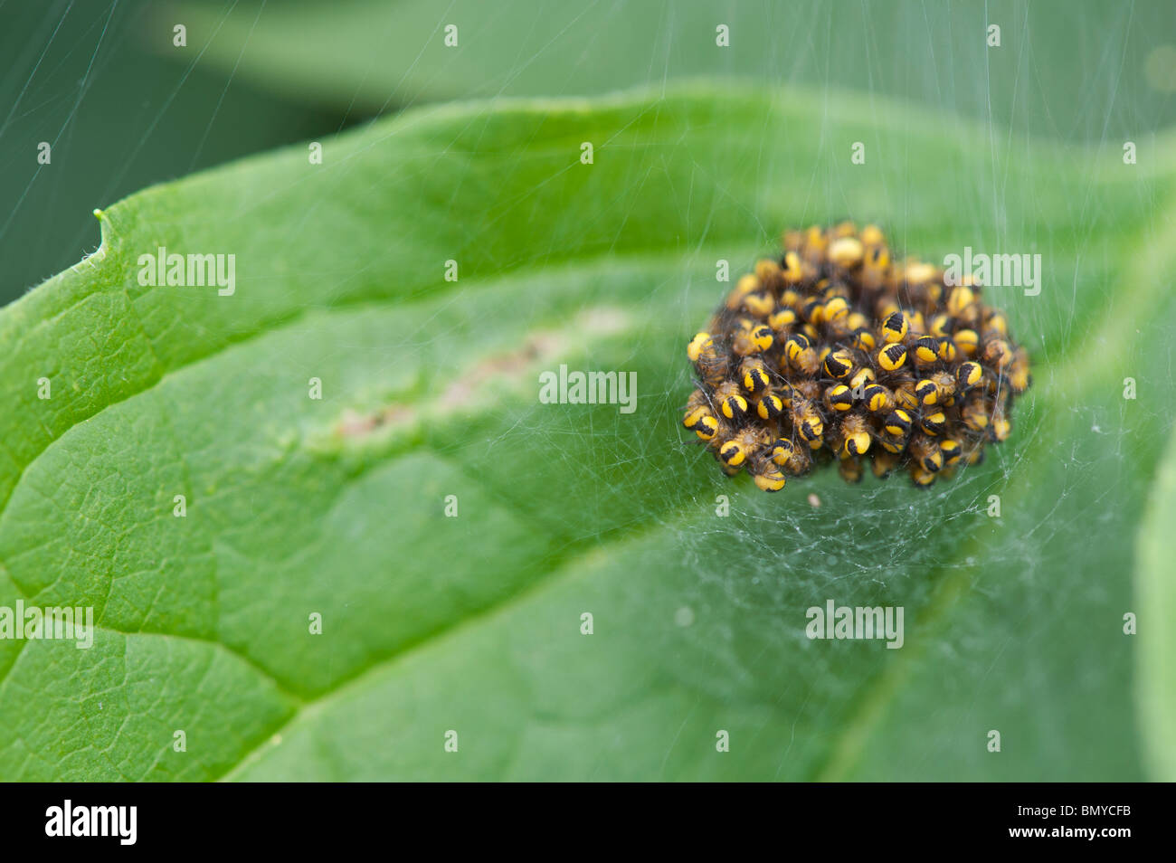 Araneus diadematus. Young cross orbweaver spiders in a spiders web nest - Stock Image