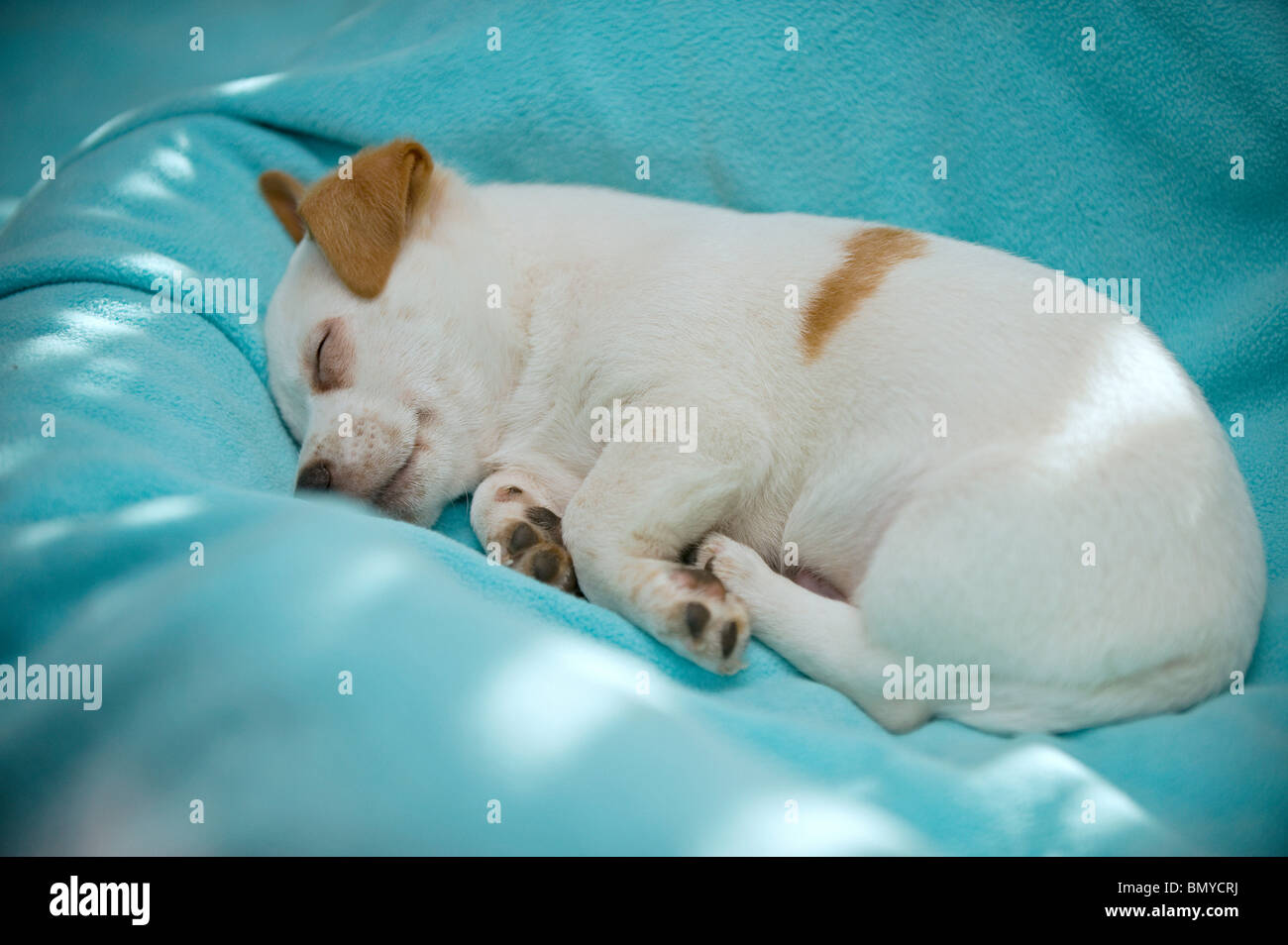 half breed dog puppy sleeping - Stock Image