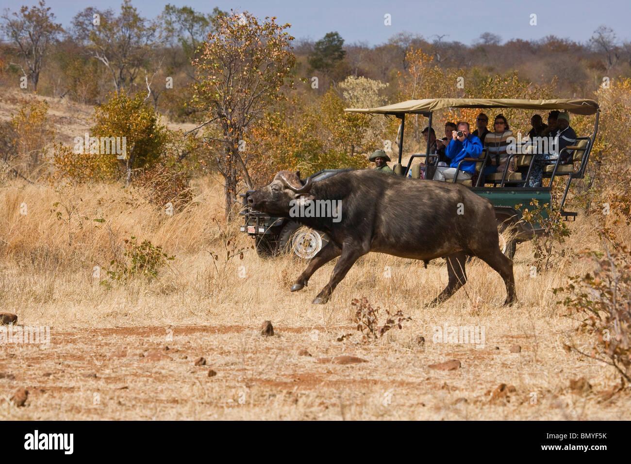 Tourists on a Game Drive watching a Cape Buffalo (Syncerus caffer). Victoria Falls. Zimbabwe. - Stock Image