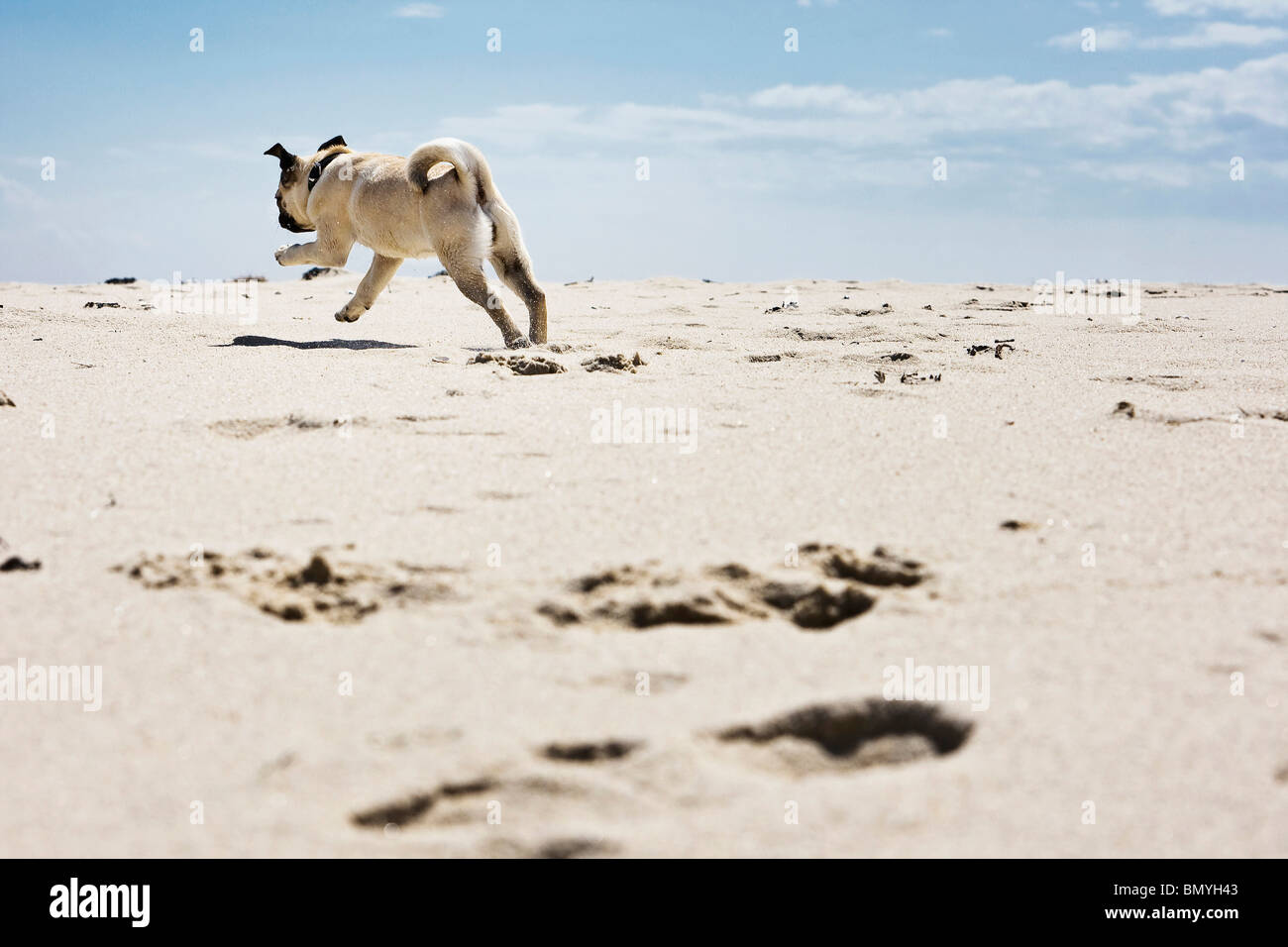 pug dog puppy running the beach - Stock Image