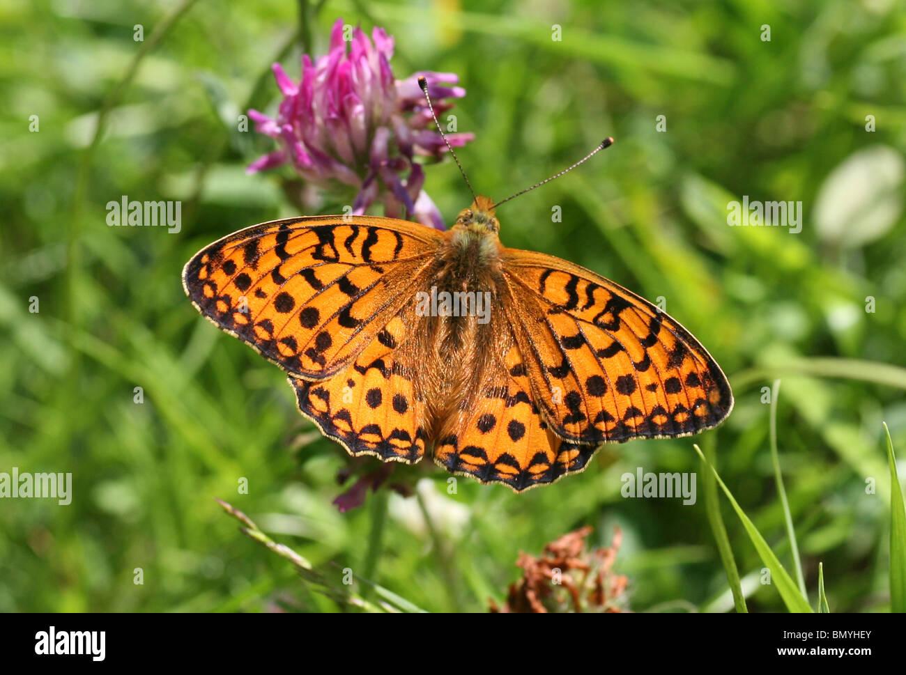Dark Green Fritillary (Argynnis aglaja) Butterfly - Stock Image
