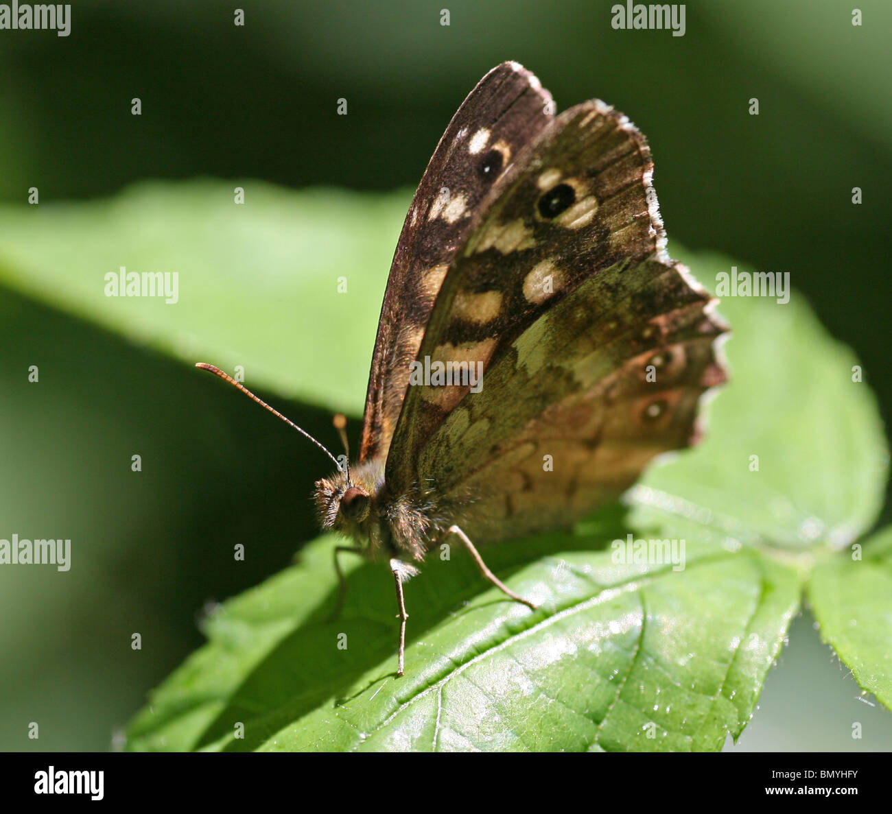 Speckled Wood (Pararge aegeria) butterfly - Stock Image