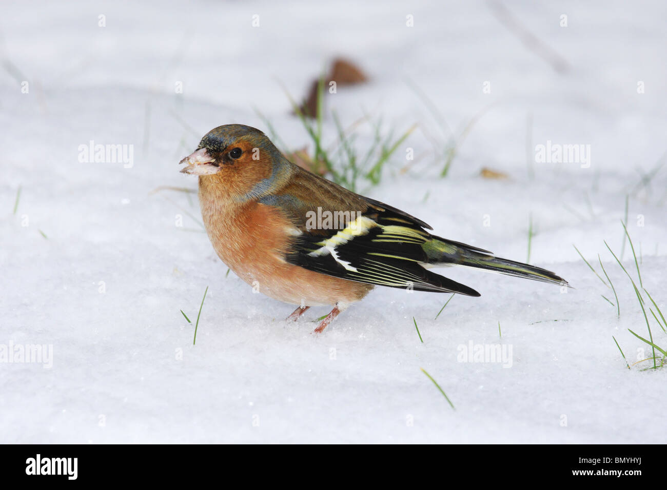 Chaffinch in the snow / Fringilla coelebs - Stock Image