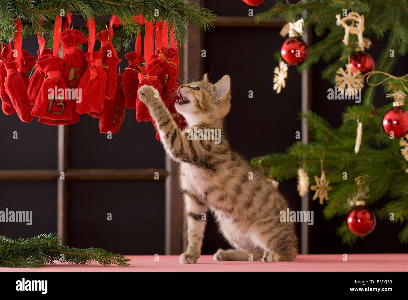 Christmas: domestic cat kitten playing Advent calendar - Stock Image