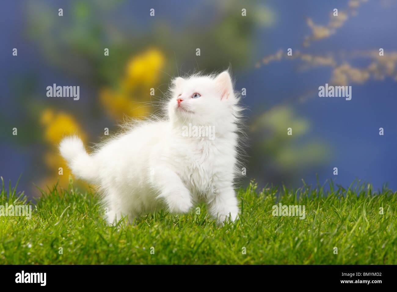 Siberian Forest Cat, kitten, 7 weeks, white / Siberian Cat, Siberia Stock Photo