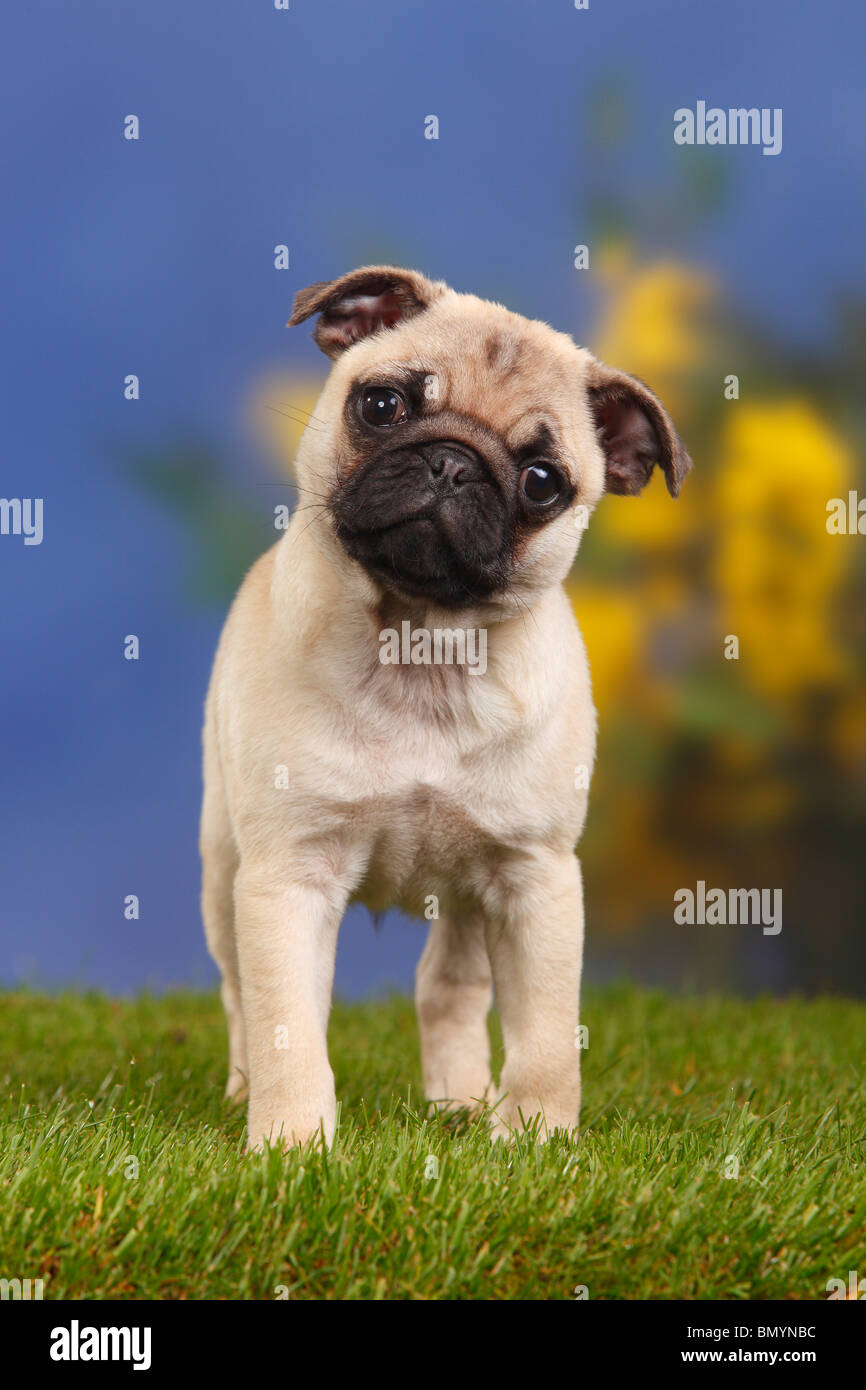 Pug, puppy, 12 weeks - Stock Image