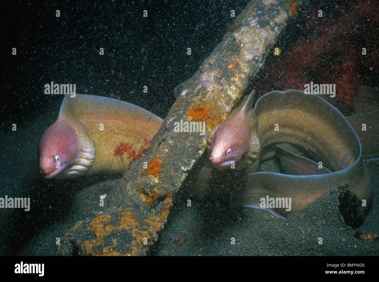 A pair of Grey Moray Eel (Siderea grisea) , North Beach, Eilat, Israel - Red Sea. - Stock Image