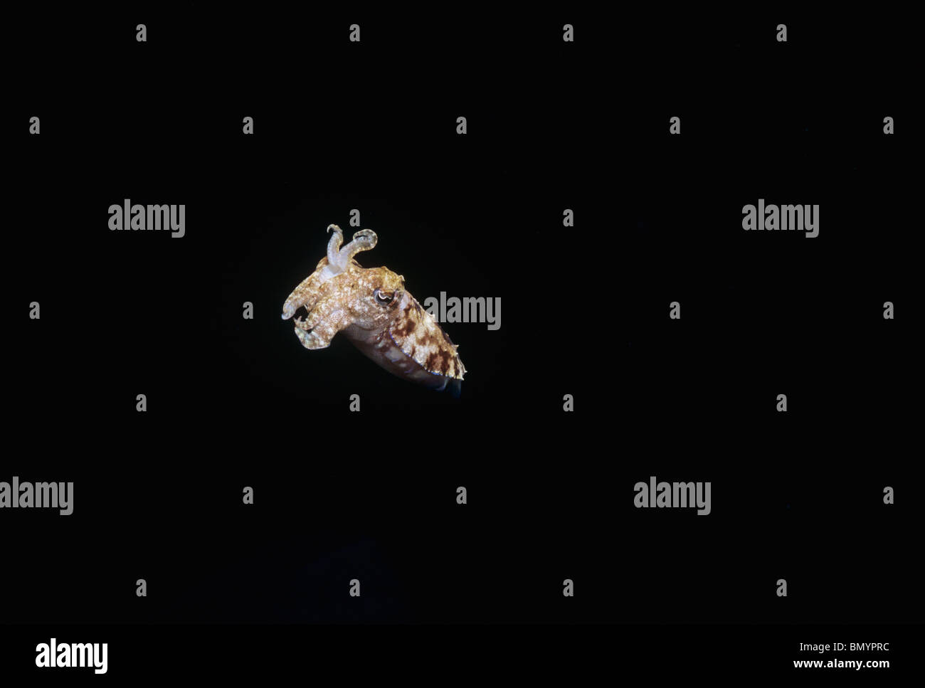 Cuttlefish (Sepia gibba) at Night on Coral Reef. Egypt - Red Sea - Stock Image