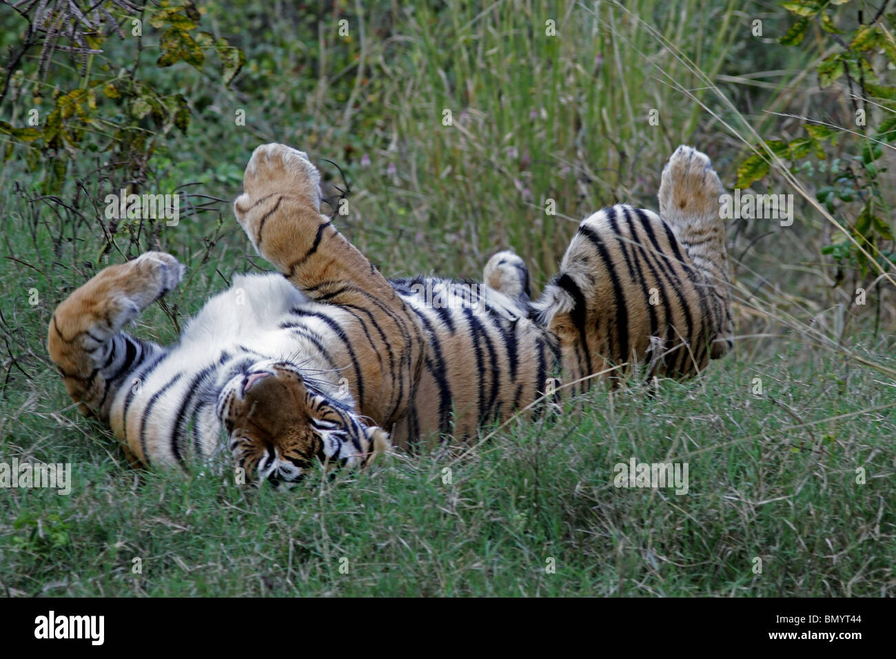 Tiger rolling in green grass in Ranthambhore National Park, India Stock Photo