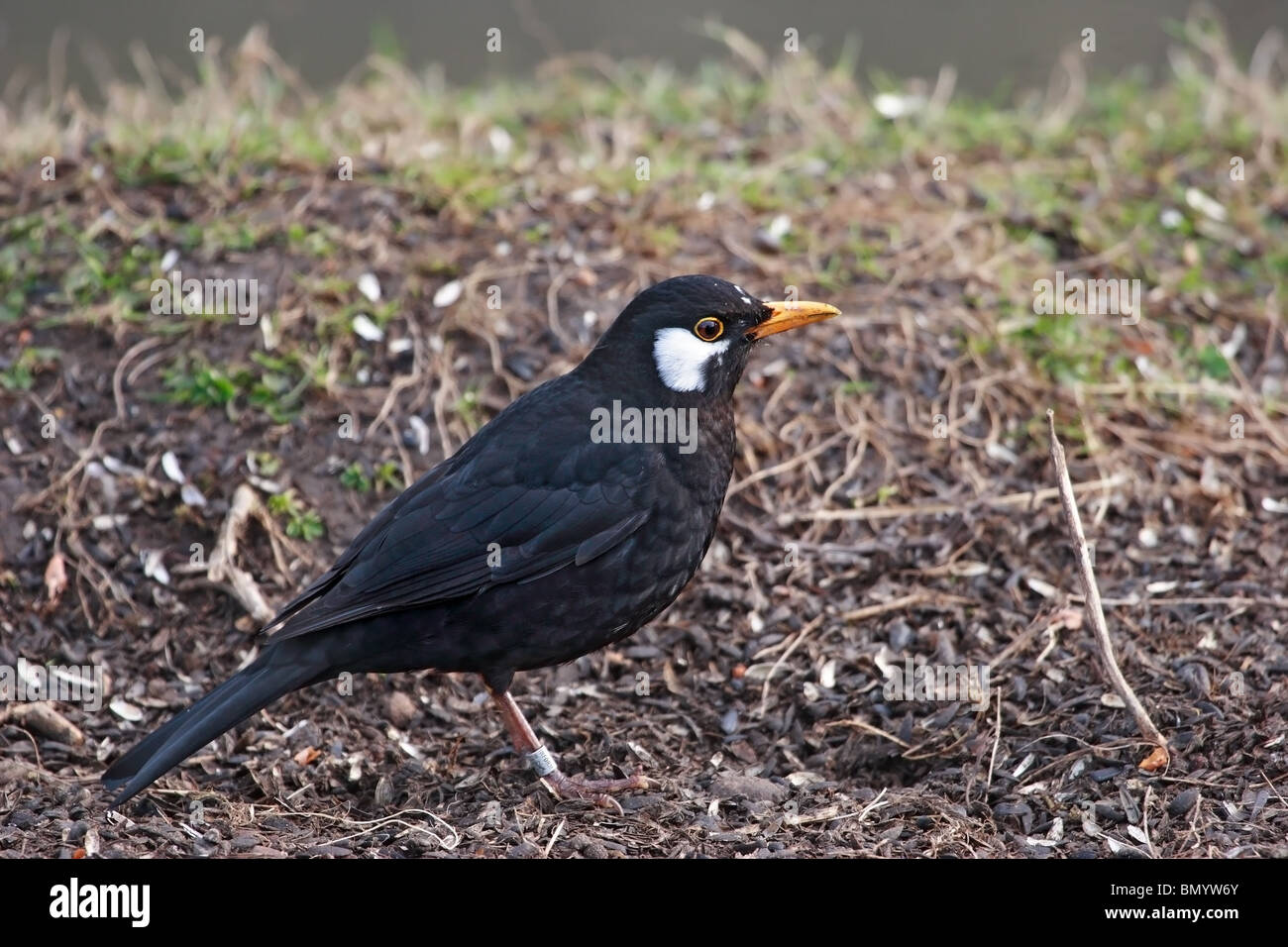 Leucistic Male Blackbird Turdus merula United Kingdom - Stock Image