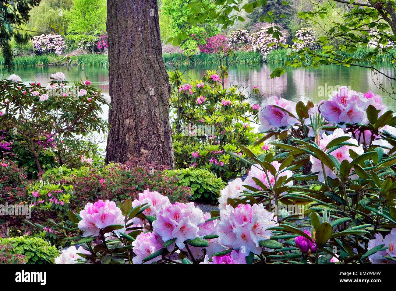 Rhododendrons in bloom with pond at Crystal Springs Rhododendron Gardens, Oregon Stock Photo