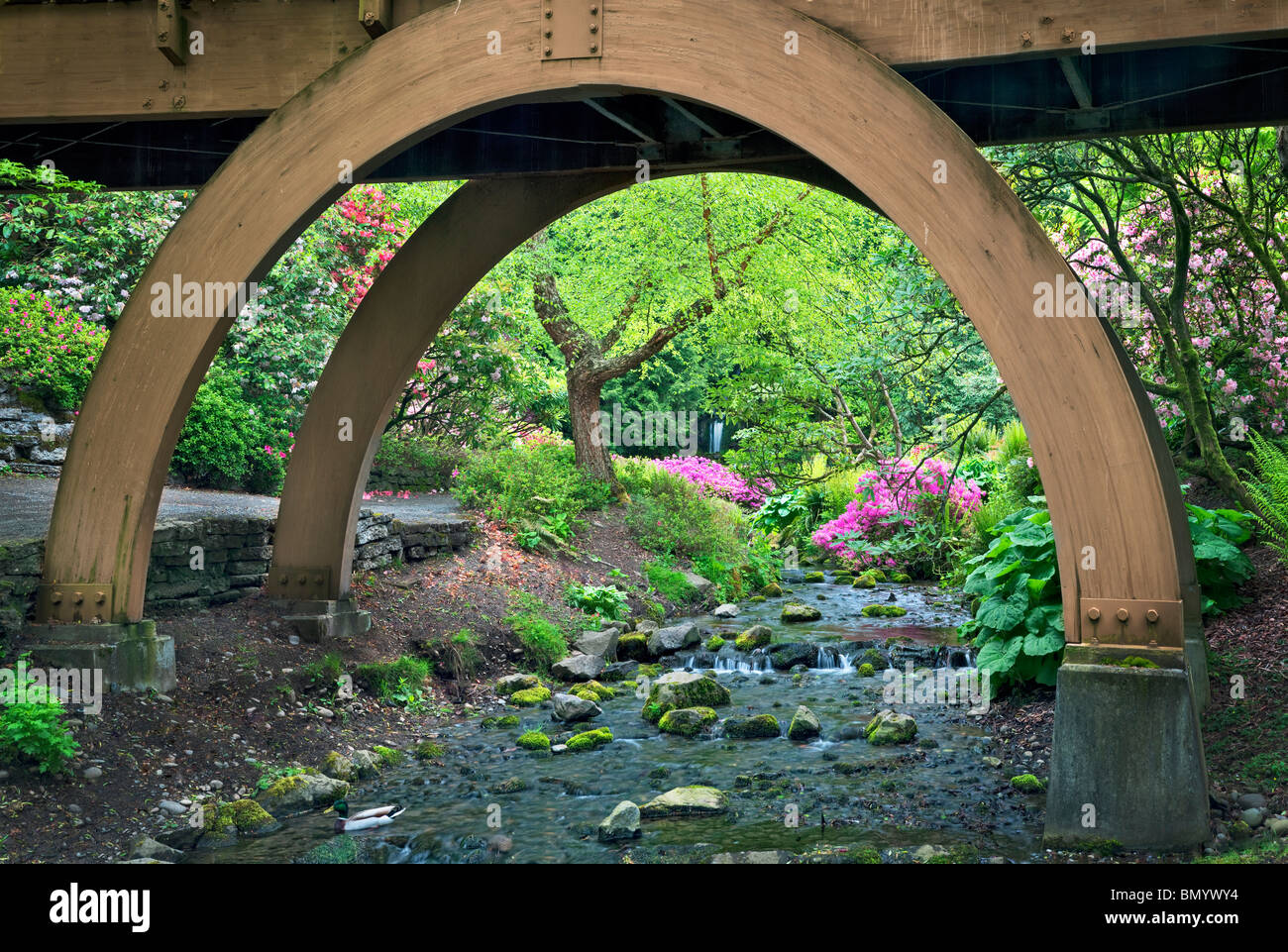Stream, bridge, and blooming azaleas, Mallard duck and small waterfall at Crystal Springs Rhododendron Gardens, - Stock Image