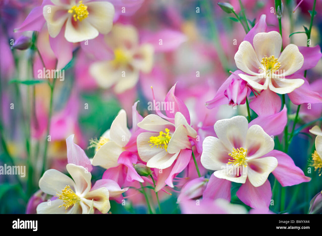 Close up of Columbine (Swan Pink and Yellow) . Oregon - Stock Image