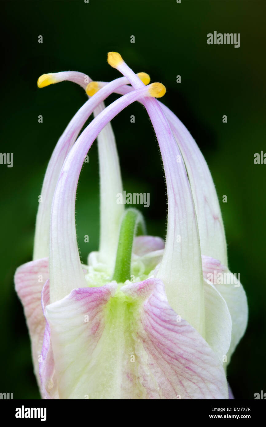 Close up of unfolding flower of Musik Pure White Columbine. (Aquilegea musik pure white) - Stock Image