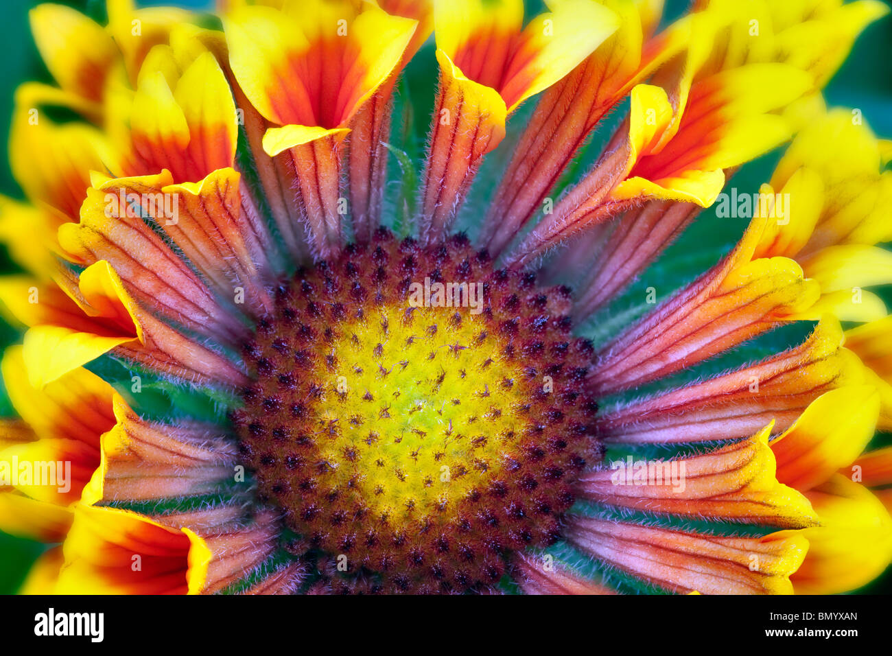 Close up of Fanfare Blanket Flower (Gaillardia 'Fanfare'). - Stock Image