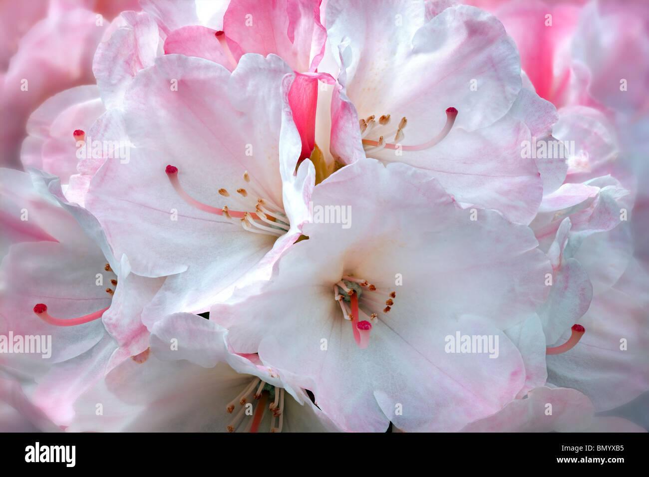 Close up of Rhododendron blossoms -Yaku Sunrise. Oregon - Stock Image