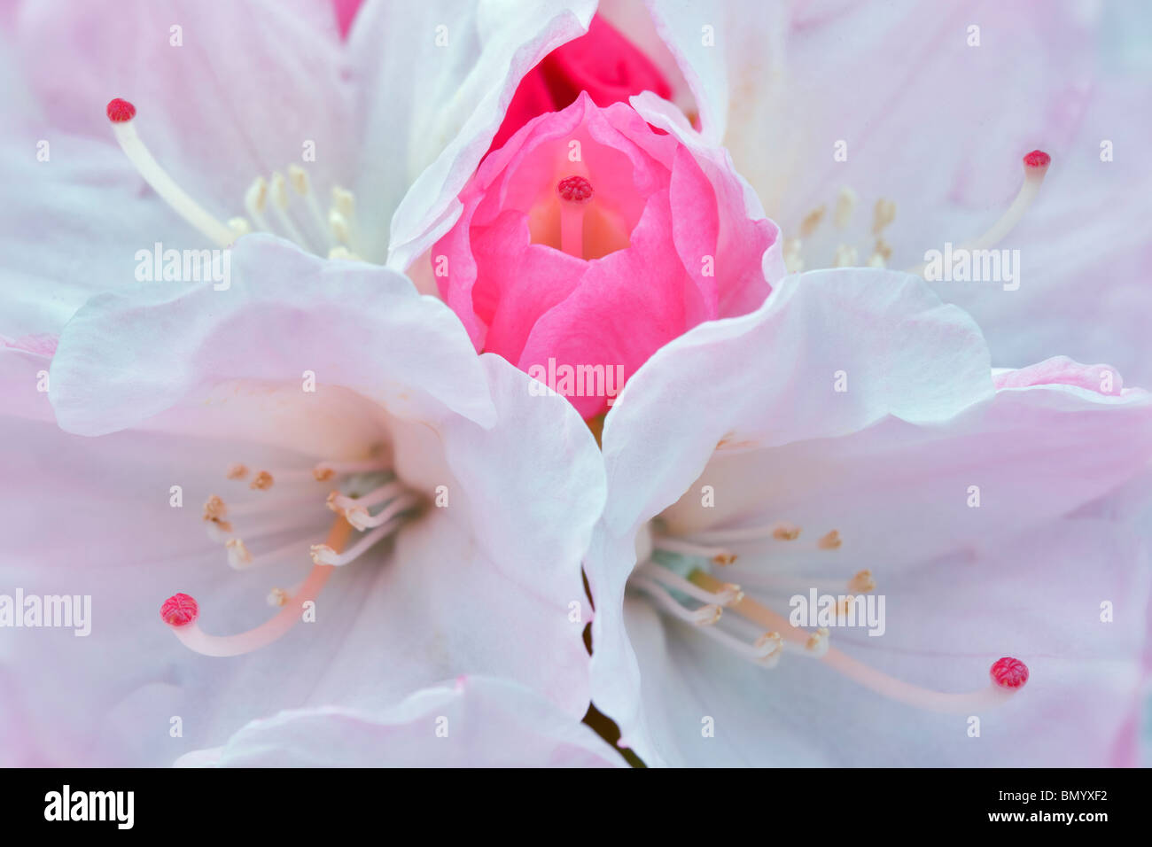 Close up of Rhododendron blossoms -Yaku Sunrise. Oregon - Stock Image