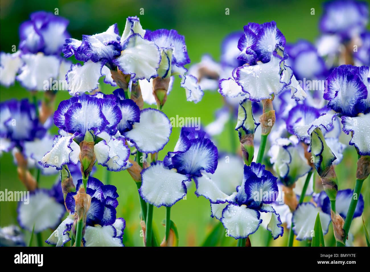 Close up of Iris. Presby's Crown Jewel. Schneider's Gardens. Oregon - Stock Image