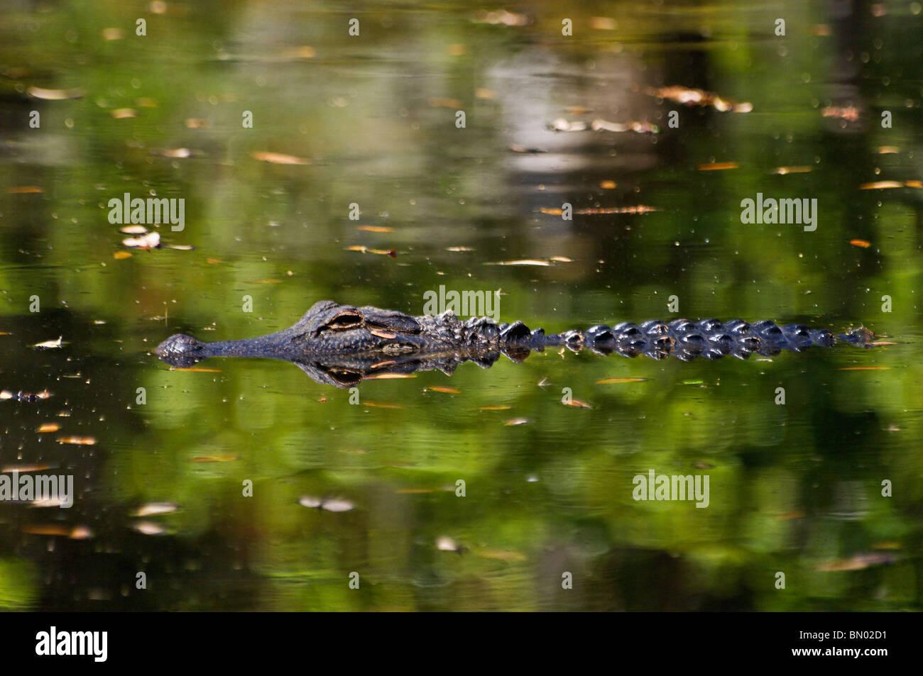 American Alligator Swimming in Lake at Magnolia Plantation in Charleston County, South Carolina - Stock Image