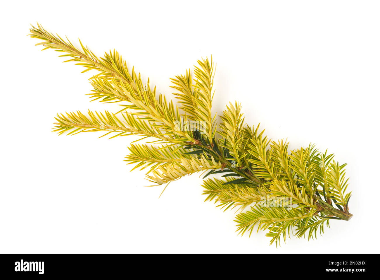 New growth on the tip of a yew tree Taxus Baccata - Stock Image