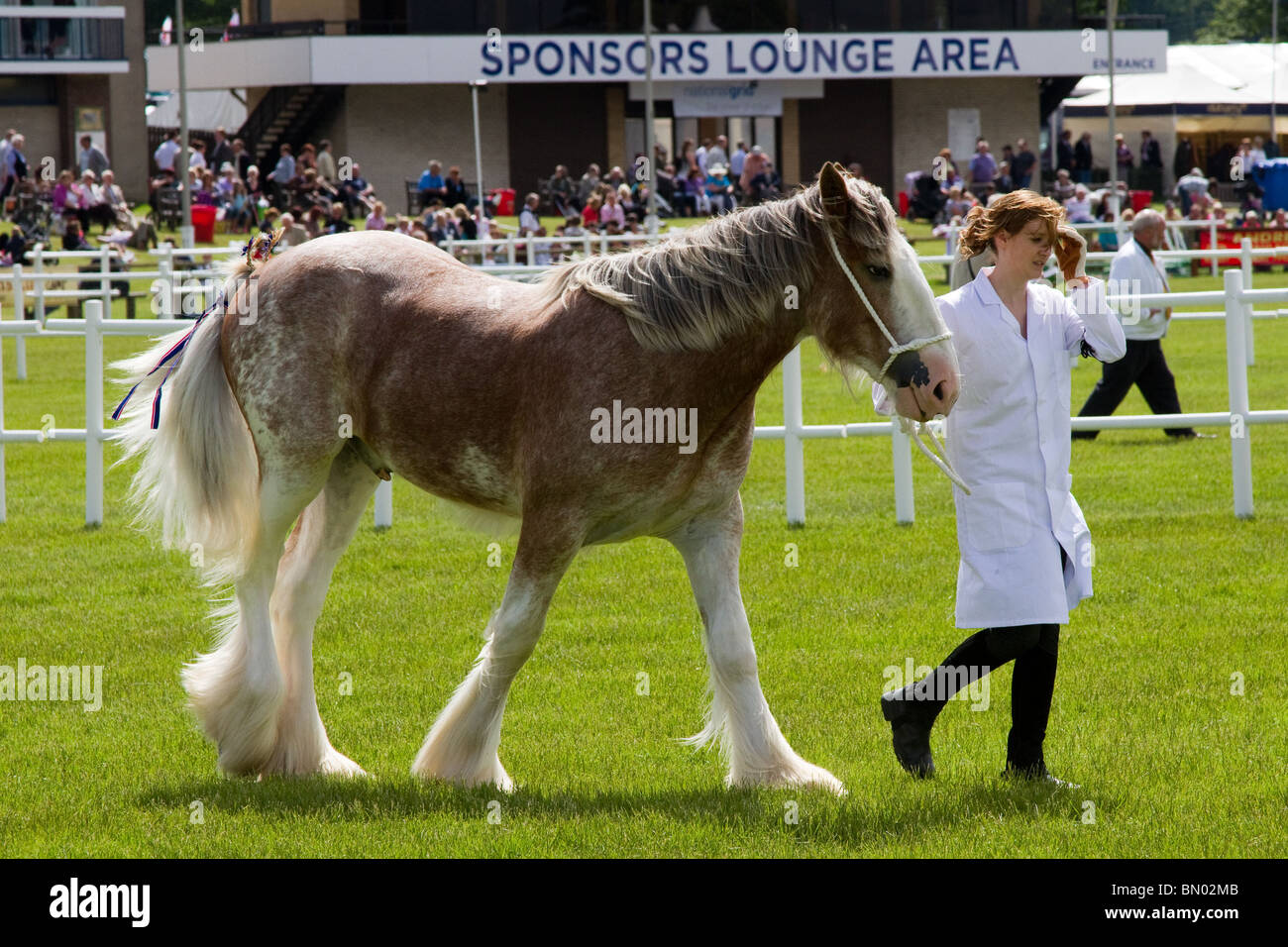 Young Shire Horse In The Showground Arena At The Royal Highland Show Stock Photo Alamy