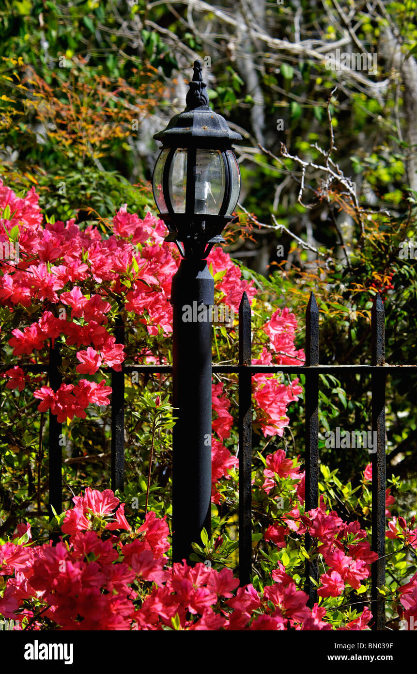 Lamp Post and Wrought Iron Fence amid Blooming Azalea at Magnolia Plantation in Charleston County, South, Carolina - Stock Image