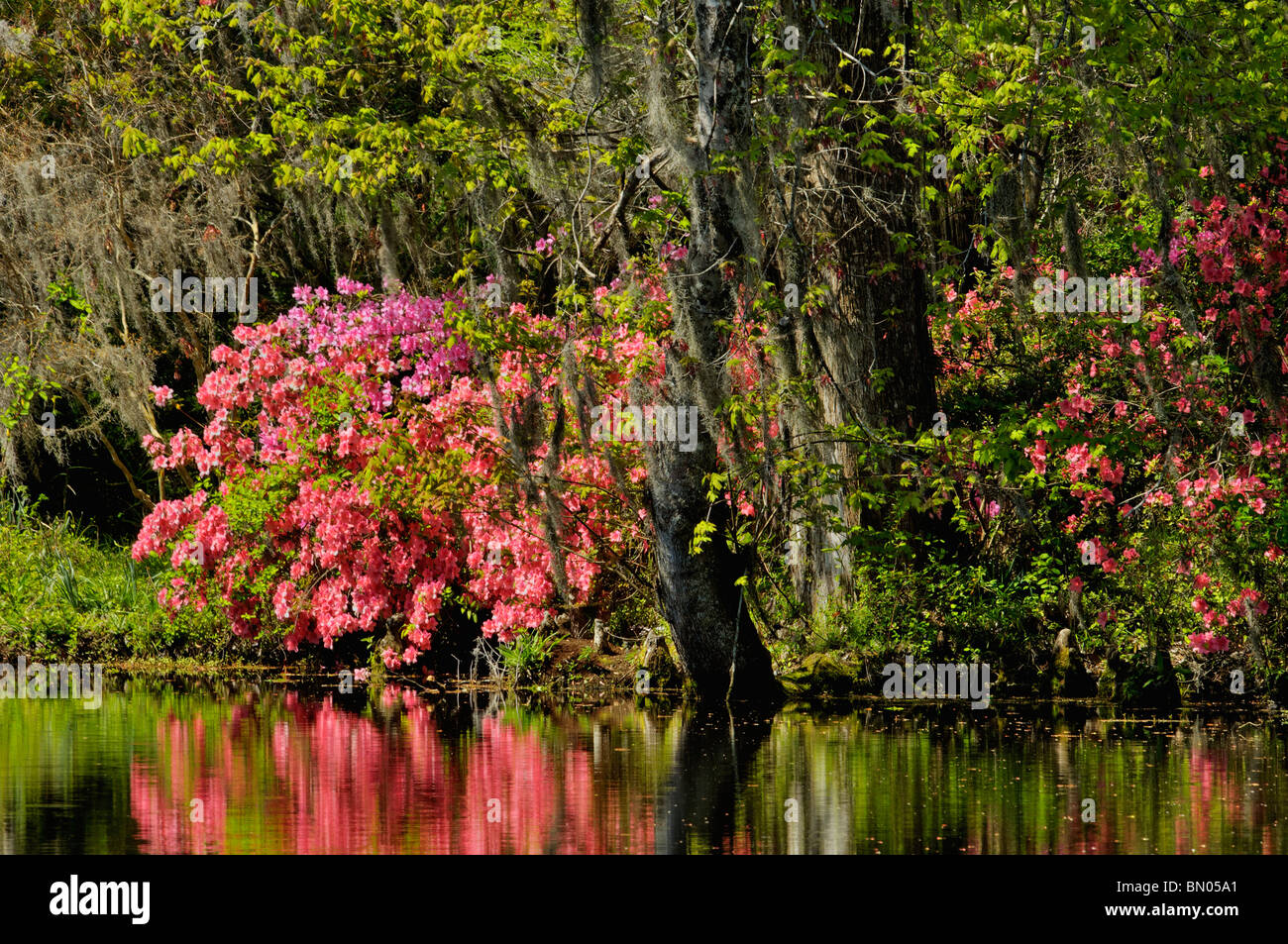 Azalea Blooming beside Lake at Magnolia Plantation and Gardens in ...