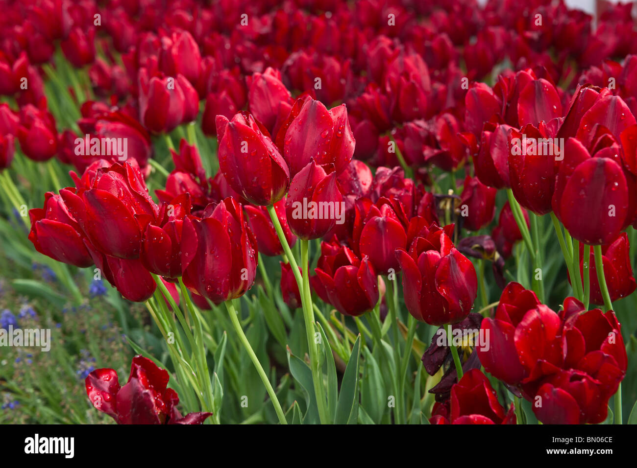 A close-up of blooming Red Georgette tulips taken in Holland Michigan Stock Photo