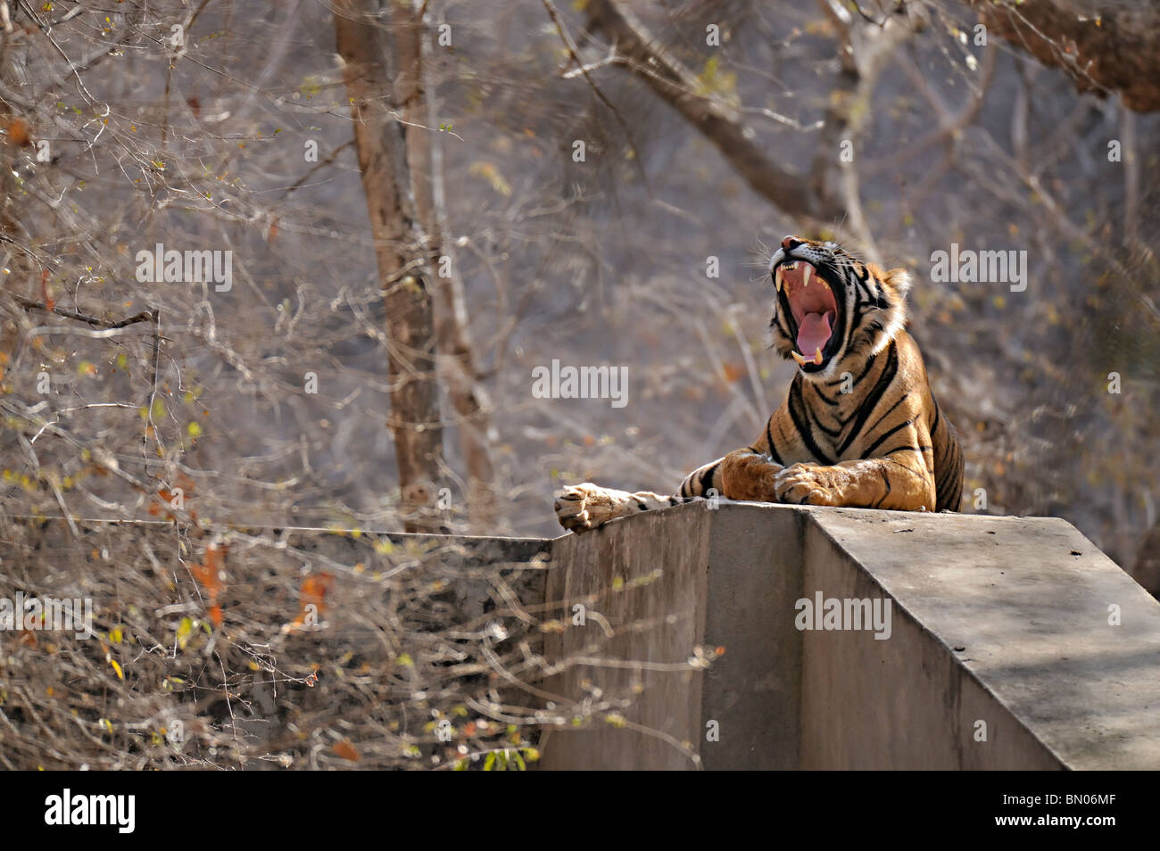 Wild Bengal Tiger on a cemented anicut or dam in Ranthambhore national park - Stock Image