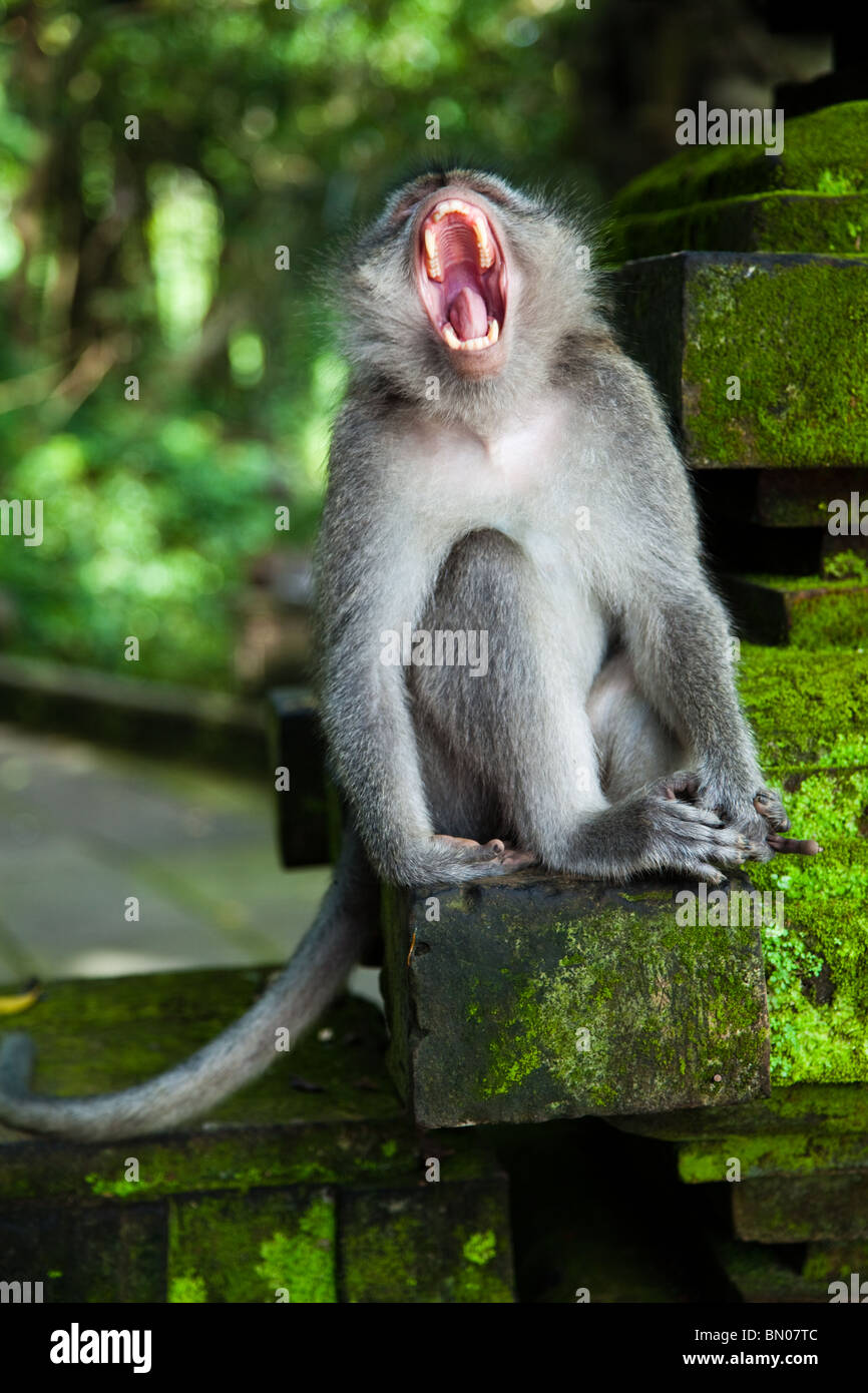 The Ubud Monkey Forest is a nature reserve and temple complex in Ubud, sometimes called Sacred Monkey Forest - Stock Image