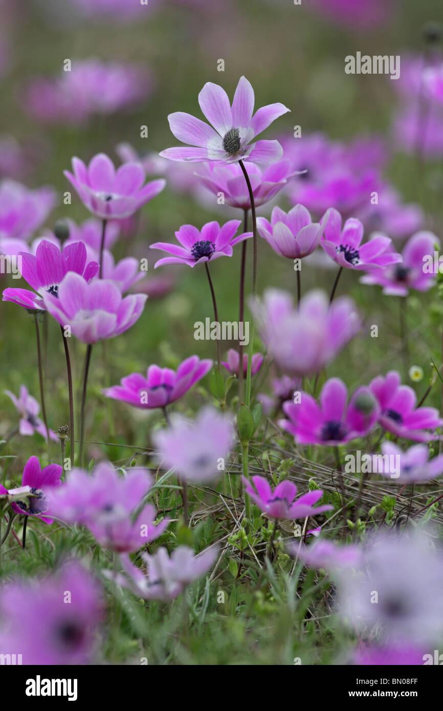 Wind flower, Anemone pavonina, Ranunculaceae, spring bulb flower, protected in Bulgaria, Strandja Nature Park, Bulgaria Stock Photo