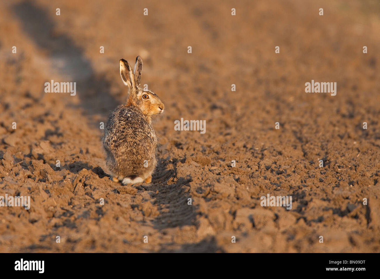 European Brown Hare (Lepus europaeus) sitting in a rut on a field. Stock Photo