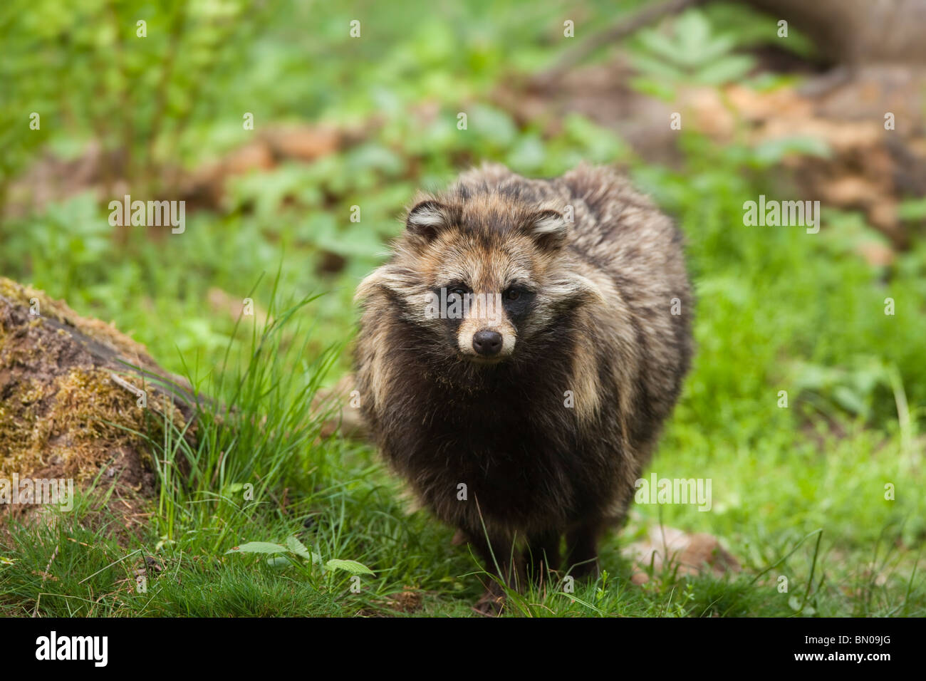 Racoon Dog Nyctereutes Procyonoides Standing In A Forest
