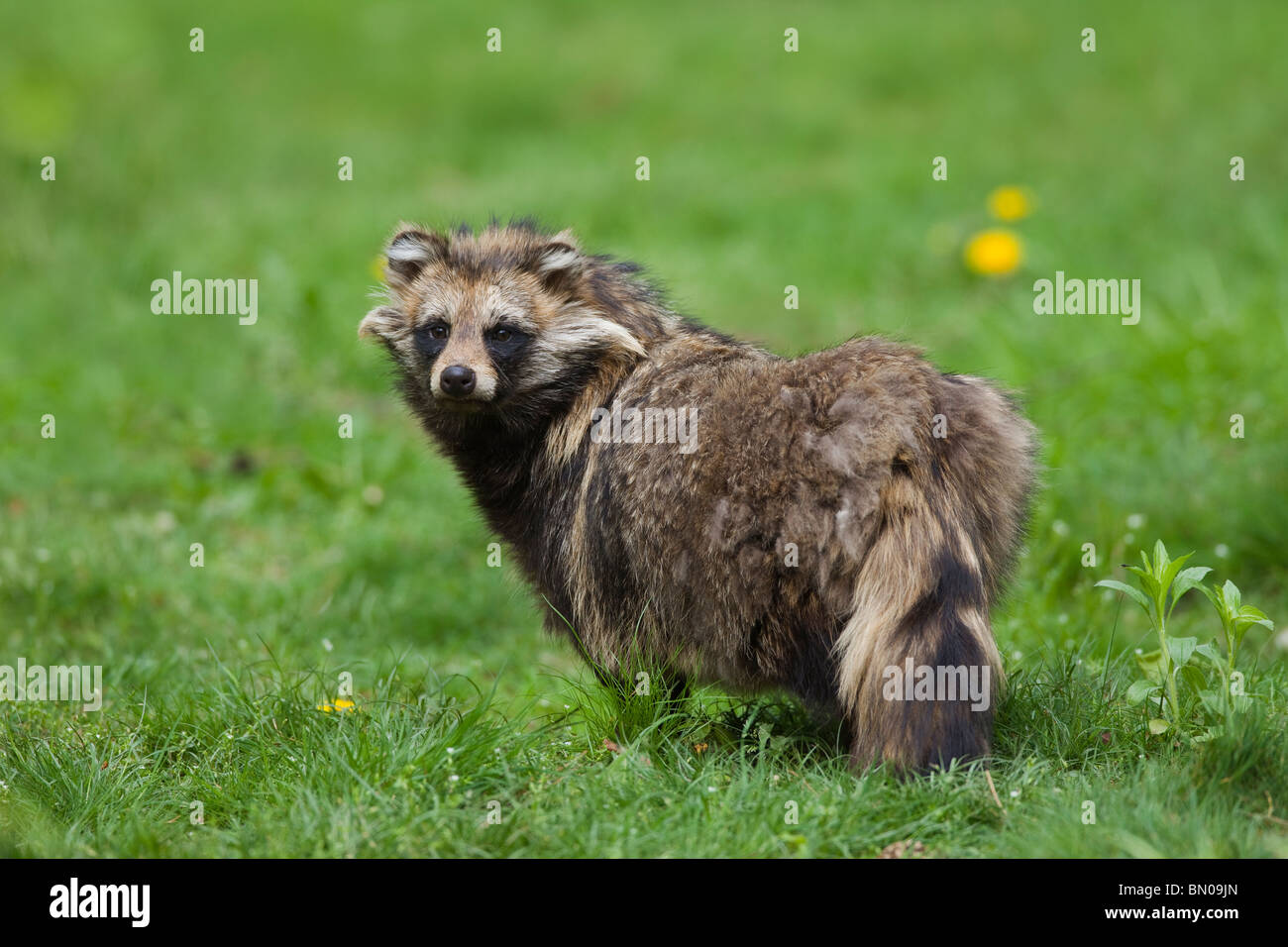 Racoon Dog Nyctereutes Procyonoides Standing In A Meadow