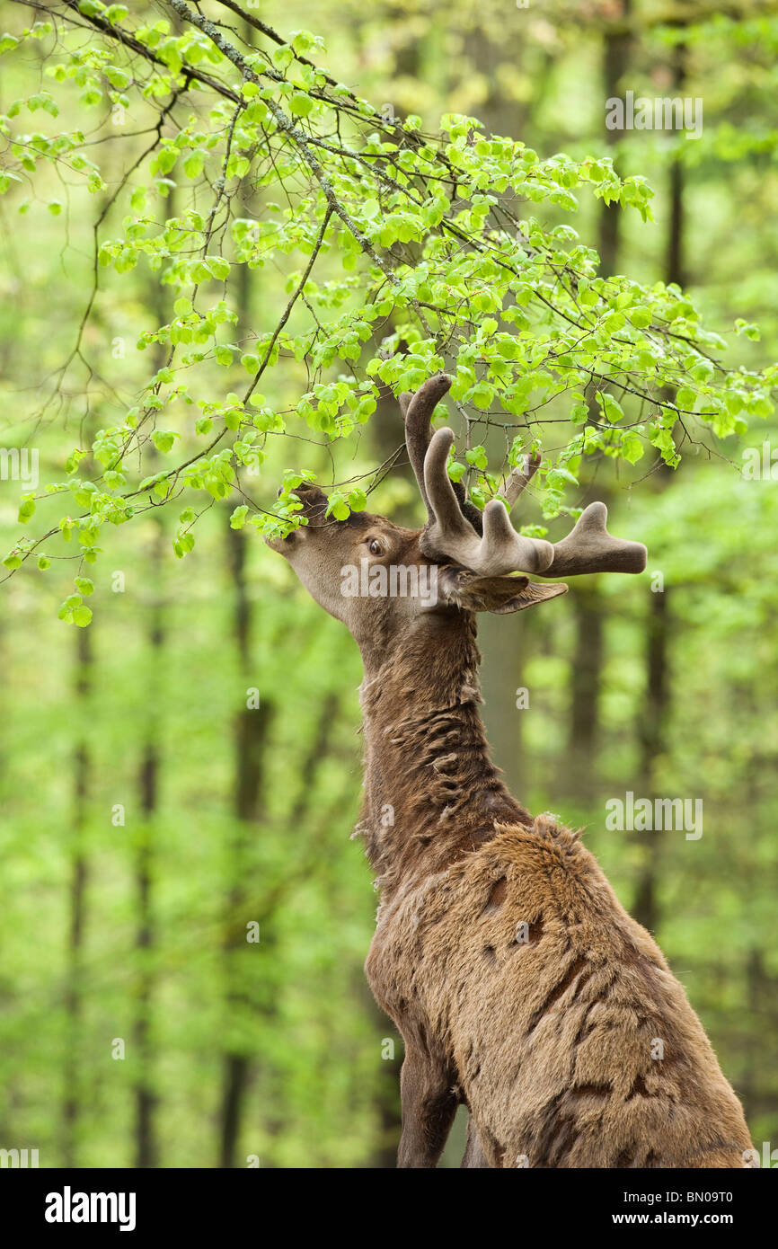 Red Deer (Cervus elaphus). Stag eating leaves from twigs. - Stock Image